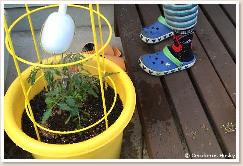 ミニトマトの植え付け完了
